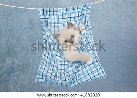 Pretty Ragdoll kitten in washing peg bag, suspended from laundry line