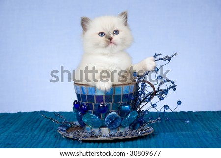 Pretty Ragdoll kitten inside large cup decorated with beads, crystals, mosaic - stock photo