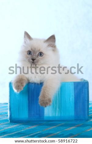 Pretty Ragdoll kitten inside striped blue box - stock photo