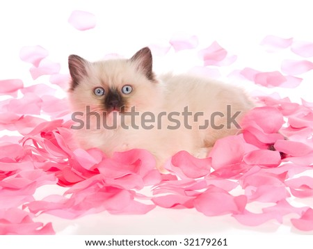 Pretty Ragdoll kitten lying in pink rose petals, on white background