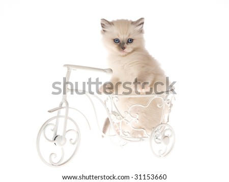 Pretty Ragdoll kitten on miniature white bicycle on white background - stock photo