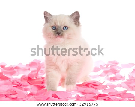 Pretty Ragdoll kitten on pink rose petals, on white background - stock photo