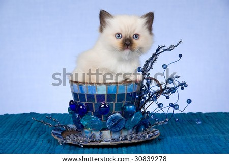Pretty Ragdoll kitten sitting in decorated large blue cup - stock photo