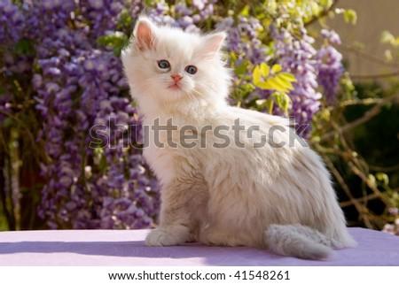 Pretty Ragdoll kitten sitting in front of purple Wisteria flowers - stock photo