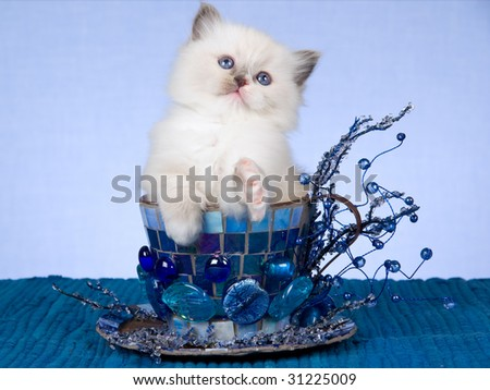 Pretty Ragdoll kitten sitting inside blue large cup with beads, crystals on blue background - stock photo
