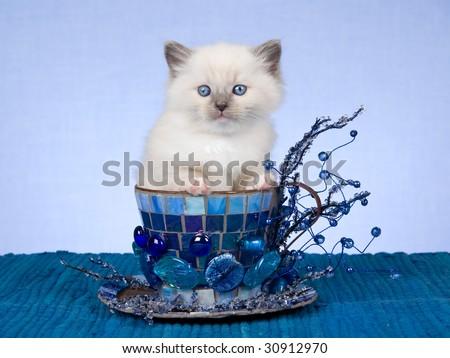Pretty Ragdoll kitten sitting inside extra large cup decorated with mosaic, beads and crystals - stock photo