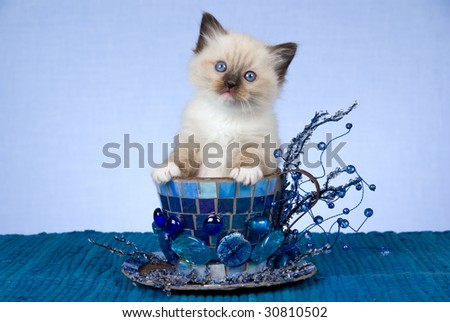Pretty Ragdoll kitten sitting inside large blue cup decorated with crystals, mosaic, stones - stock photo