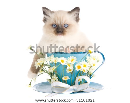 Pretty Ragdoll kitten sitting inside large cup decorated with bow and daisies flowers, on white background - stock photo