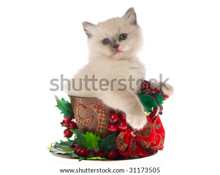 Pretty Ragdoll kitten sitting inside large cup decorated with christmas xmas berries bow leaves on white background - stock photo