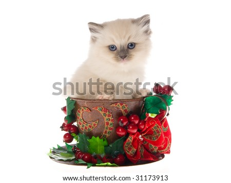 Pretty Ragdoll kitten sitting inside large cup with christmas berries bow, on white background