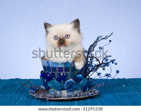 Pretty Ragdoll kitten sitting inside over size blue cup with beads crystals - stock photo