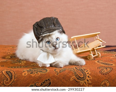 Pretty Ragdoll kitten wearing pilot outfit with miniature wooden biplane - stock photo