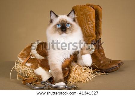 Pretty Ragdoll kitten with mini cowboy saddle, boots, spurs, straw - stock photo