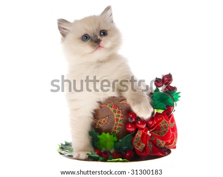 Pretty Ragdoll sitting inside large cup decorated with christmas berries bow, on white background