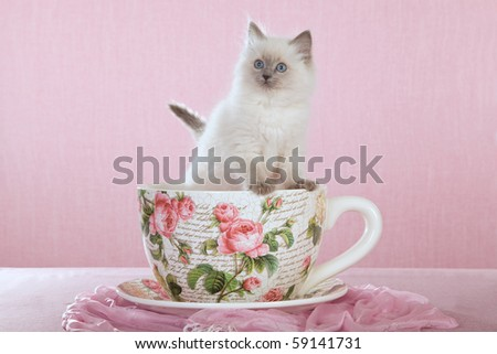 Pretty Ragdoll sitting inside large cup on pink background - stock photo