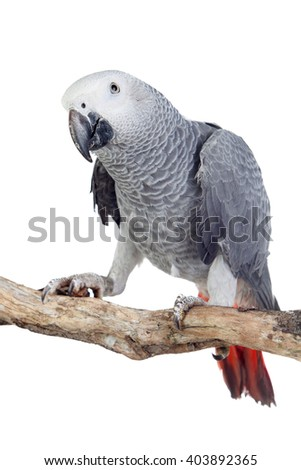 Pretty red-tailed gray parrot isolated on white background