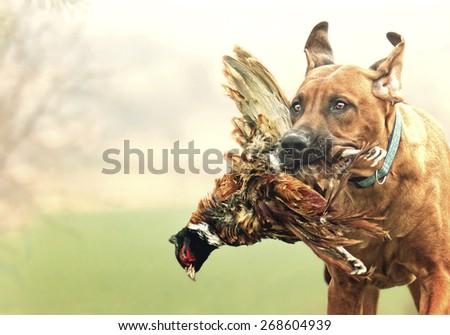 pretty rhodesian ridgeback dog puppy hold and running with pheasant bird hunting - stock photo