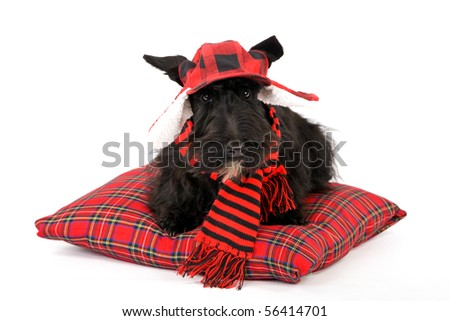 Pretty Scottish Terrier on red tartan pillow with red hat - stock photo