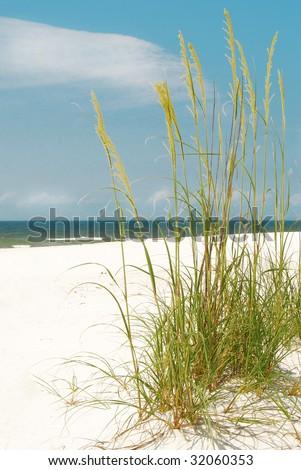 Pretty sea oats blowing in seashore breeze - stock photo