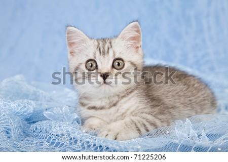 Pretty Silver Mackerel Tabby kitten lying on blue lace - stock photo