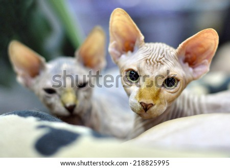 Pretty Sphynx kittens lying in fur bed. They display a high level of energy, intelligence, curiosity, and affection for their owners. - stock photo