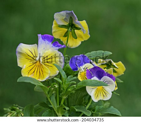 Pretty spring pansies in yellow and purple. - stock photo