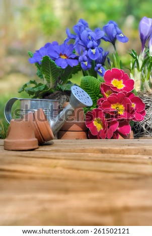 pretty springtime flowers on wooden plank  with little pots and watering can  - stock photo