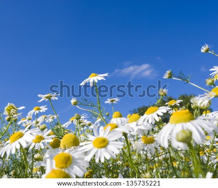 Pretty summer field carpeted with wild daisy's. Shallow depth of field. - stock photo