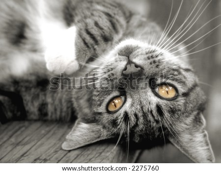 Pretty tabby cat, upside down on outside table. - stock photo
