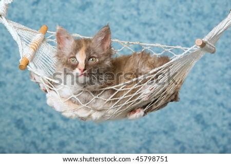 Pretty Tortie kitten in mini hammock on blue background - stock photo