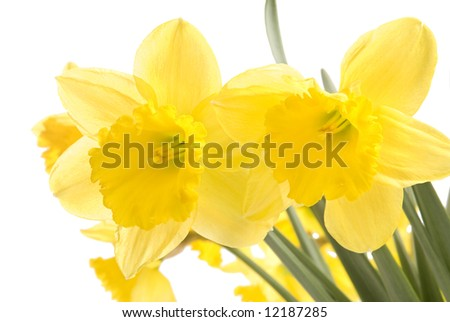 Pretty yellow daffodils isolated on white background - stock photo