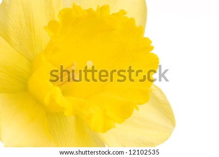 Pretty yellow daffodils on white background isolated - stock photo