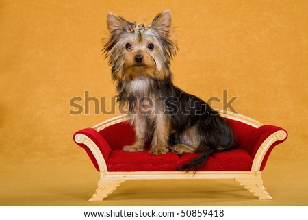 Pretty Yorkie on miniature couch sofa on gold background - stock photo