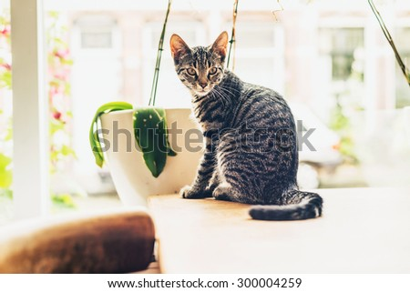 Pretty young grey striped tabby cat sitting on the dining table in the sun in front of a large bright window looking back into the room over its shoulder - stock photo