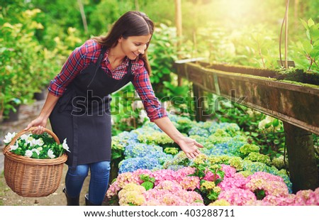 Pretty young nursery owner pointing to the flowering pink hydrangeas potted into plastic bags as she collects fresh white flowers in a wicker basket for sale - stock photo
