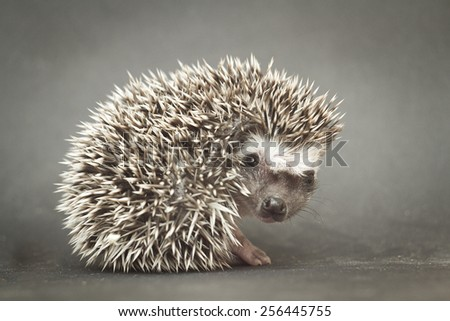 pretty young rodent hedgehog baby background - stock photo