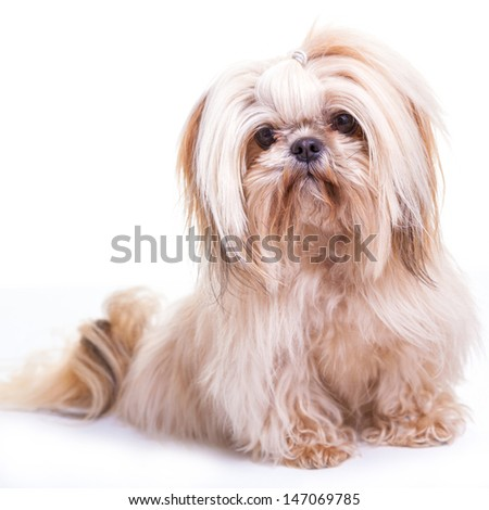 Pretty young shih tzu on a white background. - stock photo