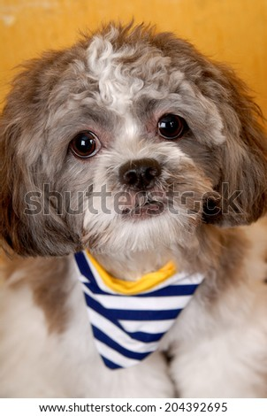Pretty young shih tzu on a yellow background.
