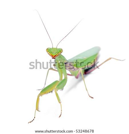 preying mantis isolated on white background - stock photo