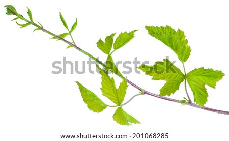 prickly branches black raspberry(wild blackberry) isolated on white background shots in macro lens close-up