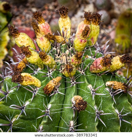 Prickly green cactus have finished blooming, faded flowers on its yellow fruits - stock photo