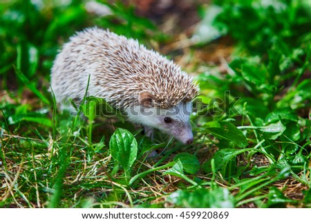 prickly hedgehog in the green grass. close-up - stock photo