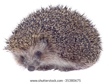 prickly hedgehog is isolated on white background - stock photo