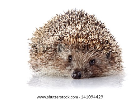 Prickly hedgehog. Ordinary hedgehog. Omnivore. Prickly animal.