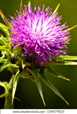 Prickly milk thistle in all its splendor on a greenish unfocused background - stock photo