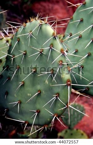 Prickly Pear Cactus - stock photo