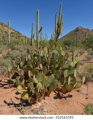 prickly pear cactus and desert mountain landscape - stock photo