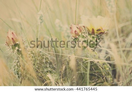 Prickly Pear Cactus Bloom, Ant and Hidden Insects - stock photo