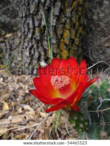 Prickly Pear Cactus Flower - stock photo