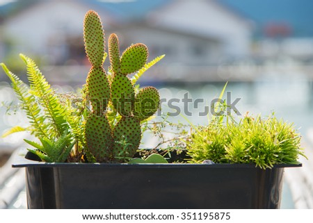 Prickly pear cactus in the morning sunlight. - stock photo